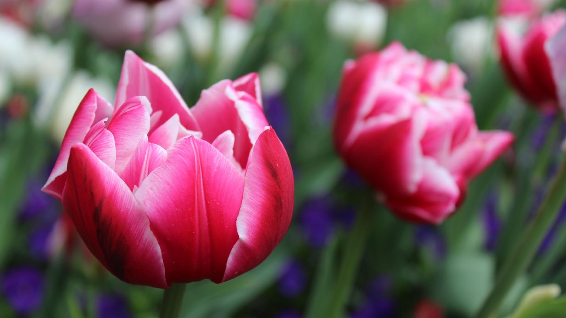Avoir des tulipes dans le jardin au printemps