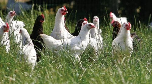 leveuse avicole e1550504746586 500x276 - Envie de devenir éleveuse avicole ?