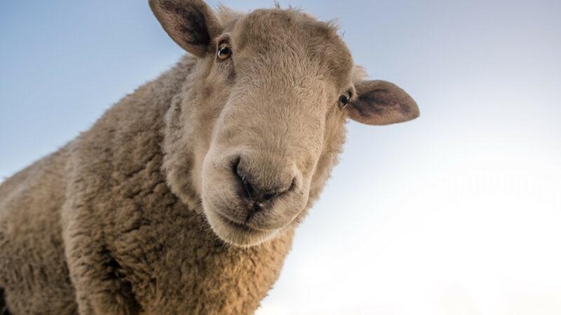 37ed4601bef9cd7bd4bbd4ded82a7b58 800x450 - Achetez de la viande d'agneau sur Internet
