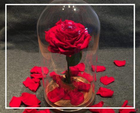 Rose éternelle naturelle sous cloche XXL