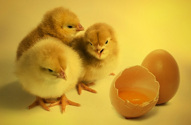 chicks 2965846 640 - Le bio dans l'élevage, une solution qui bénéficie aux animaux et aux consommateurs
