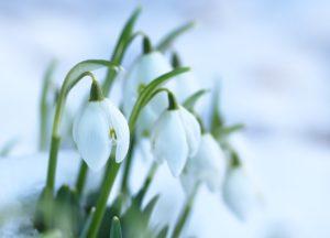snowdrops 3236773 1280 300x216 - Bien planter ses bulbes pour de belles fleurs au printemps