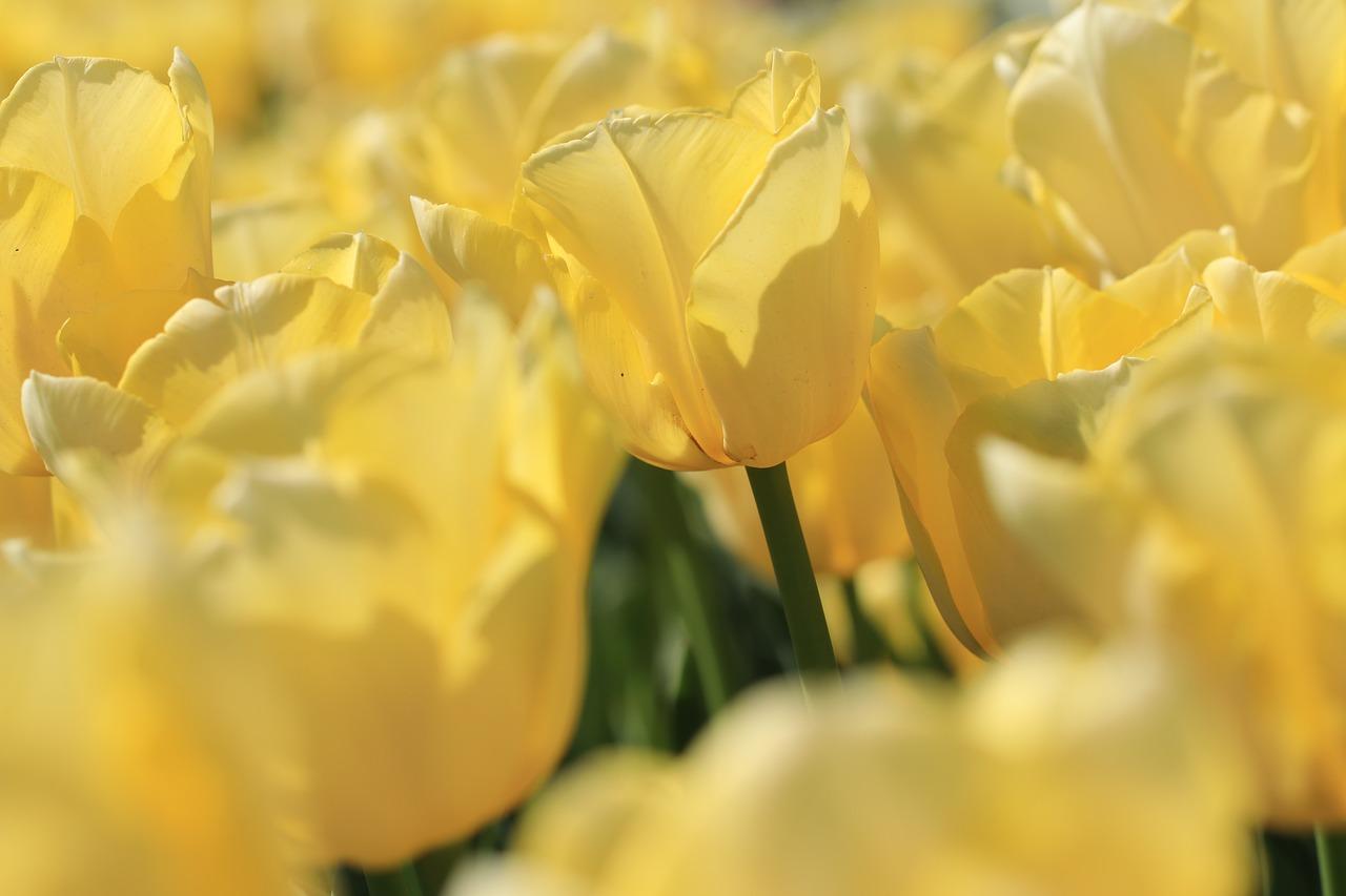Bien planter ses bulbes pour de belles fleurs au printemps