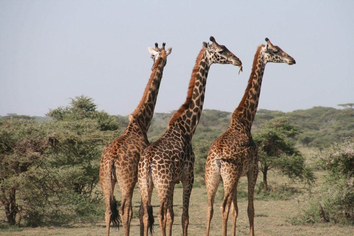 tanzanie tourisme girafe - 10 destinations pour votre voyage de noces
