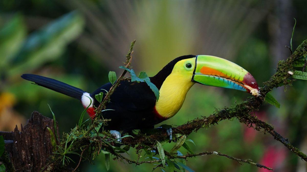 toucam oiseau costa rica - 10 destinations pour votre voyage de noces